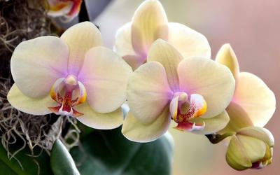родина орхидеи фалеонопсис