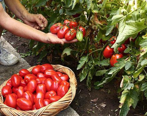 хороший урожай помидоров