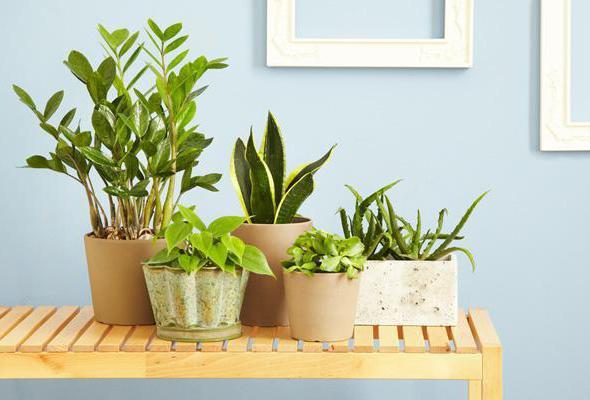 Догляд за кімнатними рослинами в домашніх умовах  679b77927ad7c