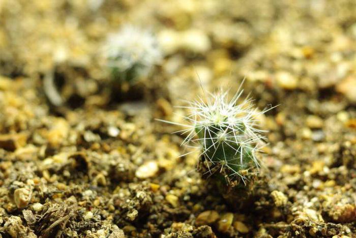 способ размножения кактуса