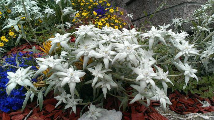Едельвейс альпійський вирощування з насіння