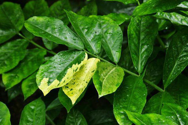 замиокулькас как ухаживать желтеют листья