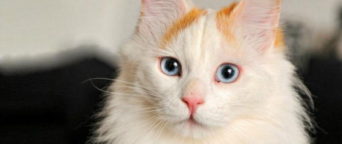 Турецкий ван порода кошек