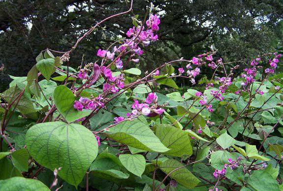 плетущиеся цветы для сада многолетние фото