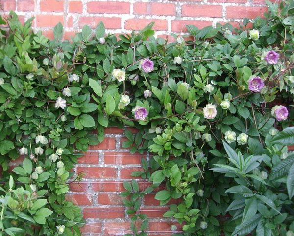 плетущиеся цветы для сада фото