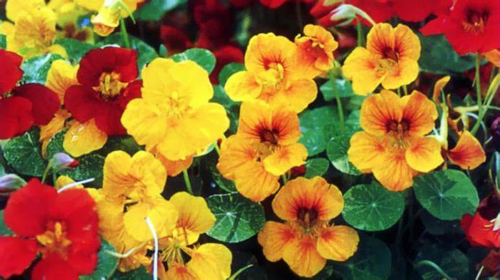 плетущиеся садовые цветы