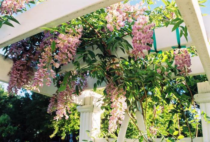 многолетние плетущиеся цветы