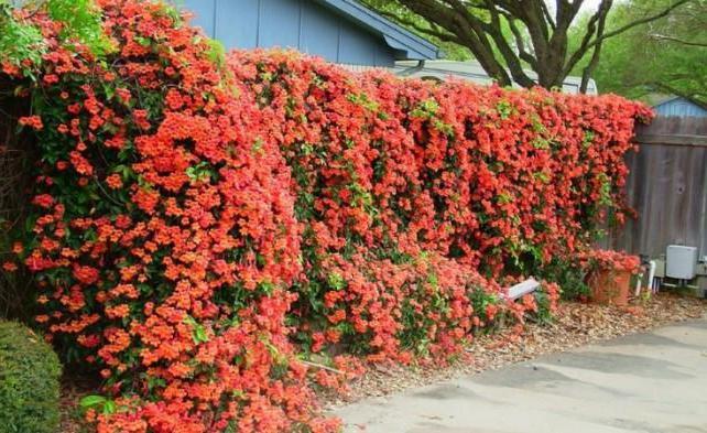 цветы плетущиеся фото и названия