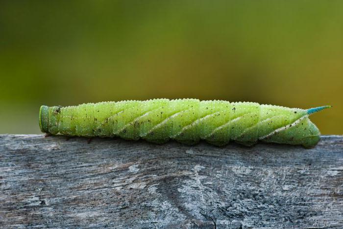 гусеница с рогом на хвосÑ'е как называеÑ'ся