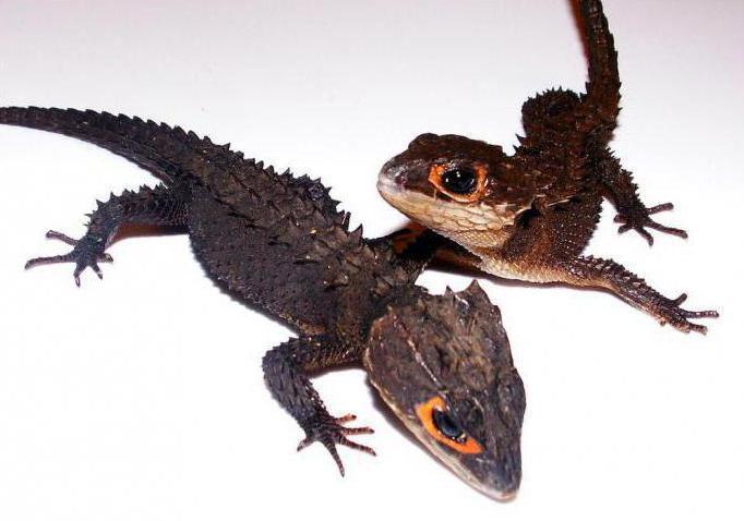 крокодиловый сцинк содержание в домашних условиях