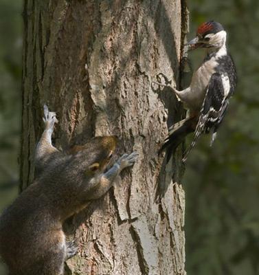 Большой пестрый дятел: черты приспособленности к среде обитания.