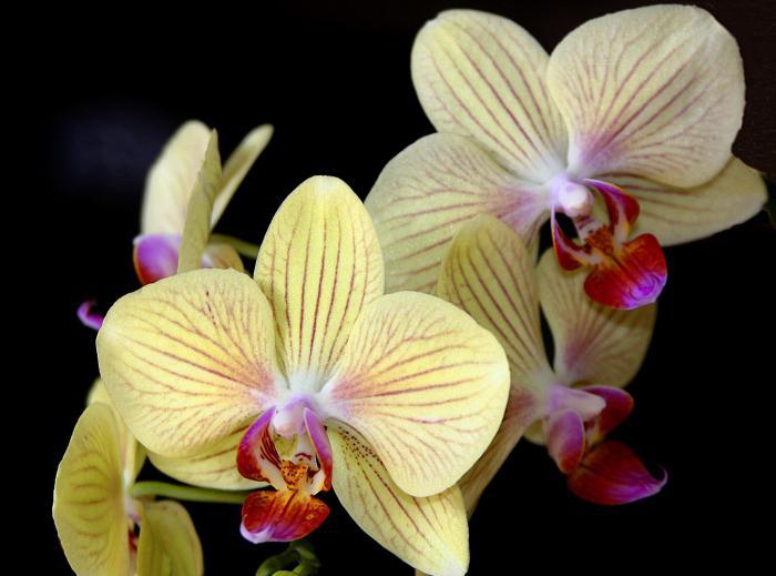 Орхидея символ сексуальност