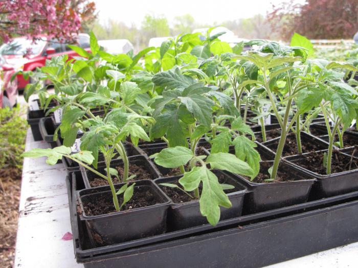 Посев семян томатов на рассаду.
