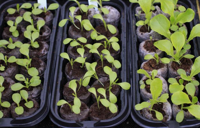 Посев семян петунии на рассаду.