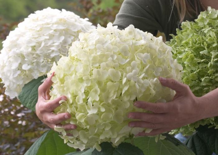 Гортензия на урале выращивание в домашних условиях 23