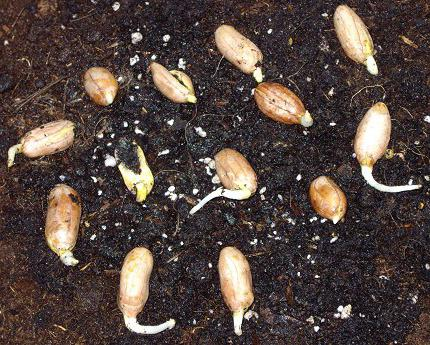 Арахис это орех или бобовые