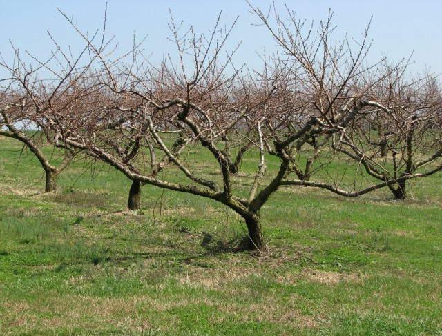Когда сажать абрикос в подмосковье осенью 82