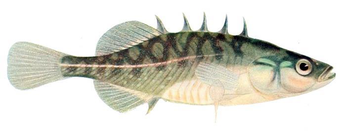 колюшка фото рыба