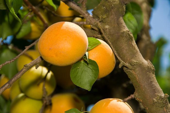 Выращивание абрикосов в сибири 845