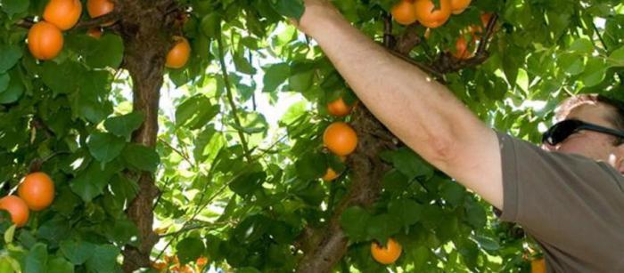 Выращивание абрикосов в сибири 627