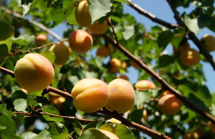 Выращивание абрикосов в сибири 514