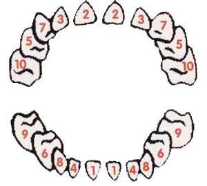 Схема прорезывания зубов у малышей