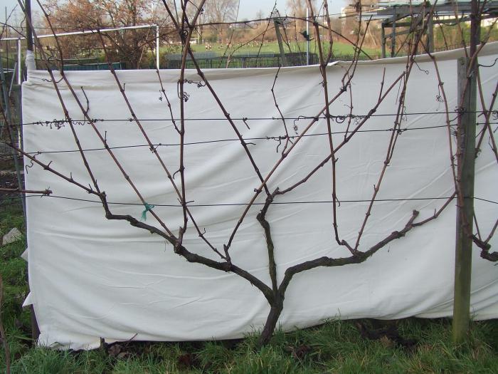 как обрезать виноград на зиму фото