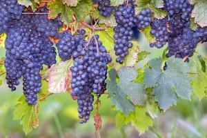 вино виноградное домашнее как сделать