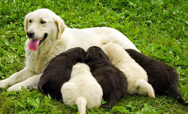 дни вязки собак