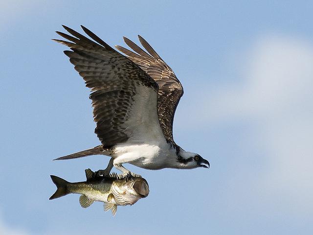 чем питаются рыба толстолобик