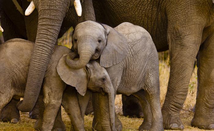Слон сколько живет лет