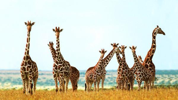 сколько у жирафа шейных позвонков