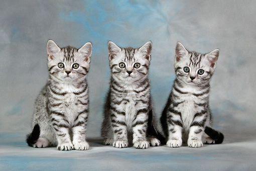 британский котенок окрас табби
