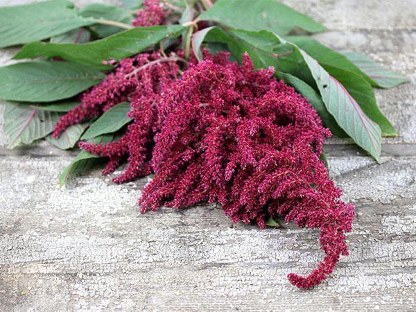 трава амарант лечебные свойства
