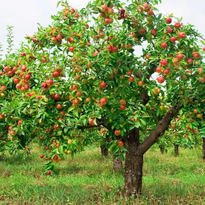 Яблоня флорина описание сорта
