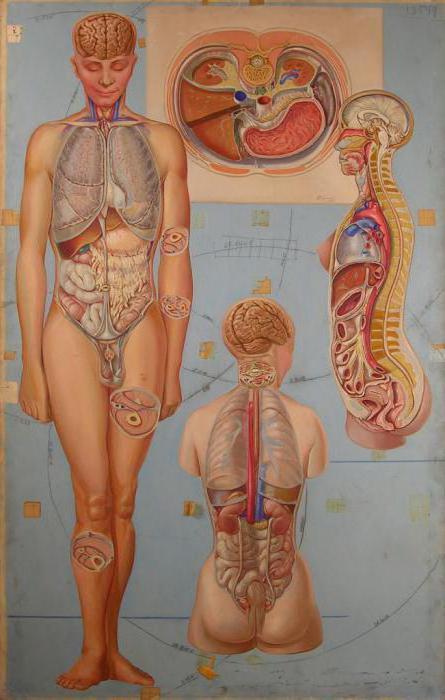 Внутренние органы человека в картинках женские