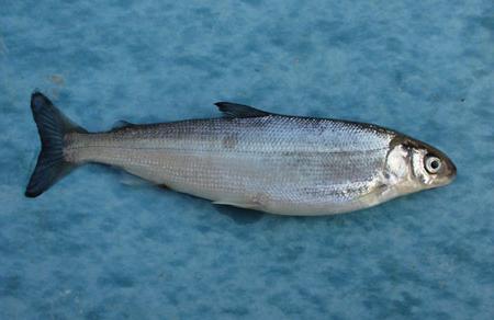 ряпушка рыба