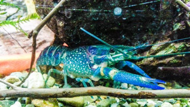австралийский голубой рак