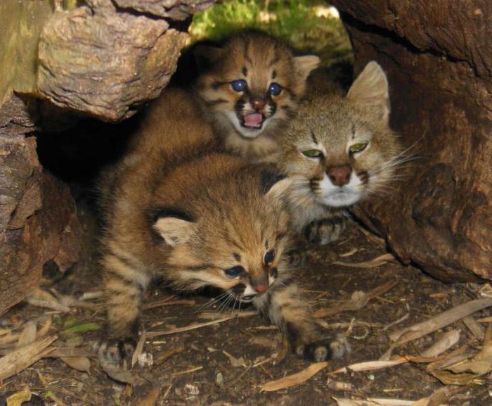 пампасская кошка интересные факты