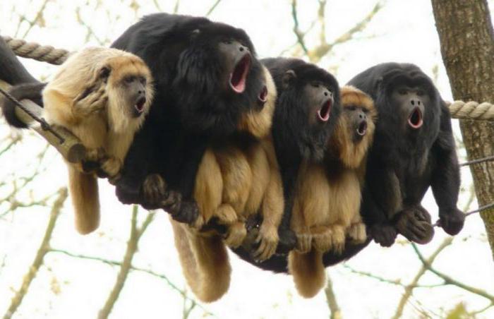 обезьяна ревун описание