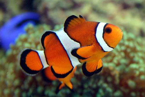 рыба клоун интересные факты