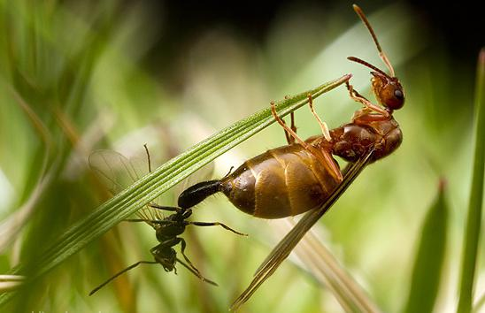 вид муравьев