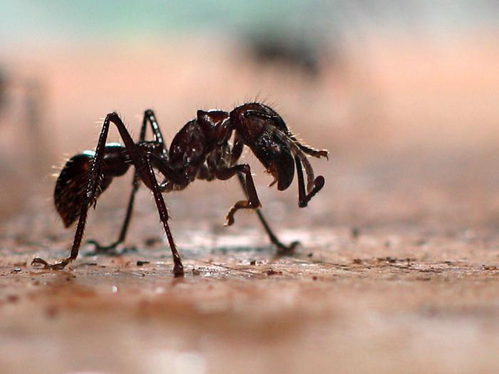 разные виды муравьев