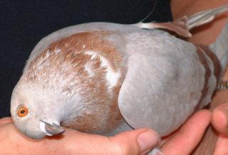 болезнь голубей вертячка