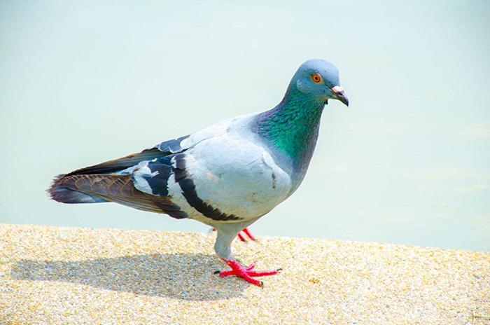 голуби их болезни и лечение