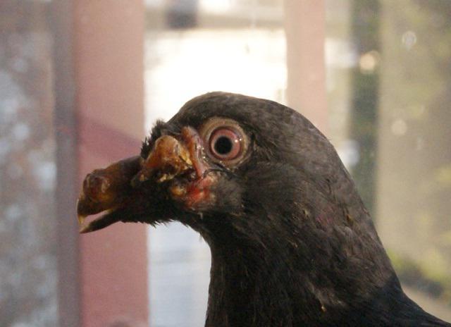 болезни голубей симптомы