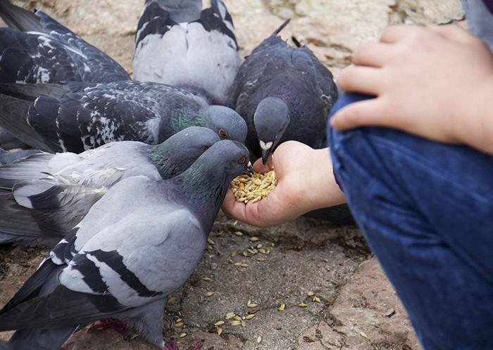 профилактика болезней голубей