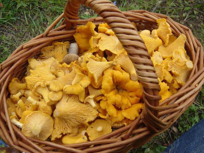 описание гриба лисичка