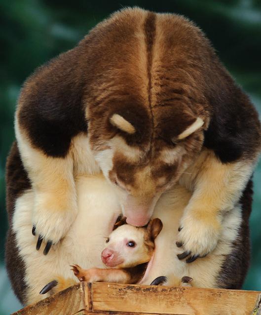 валаби древесный кенгуру