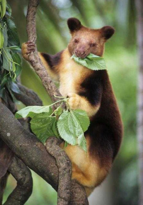 древесный кенгуру в авсÑ'ралии